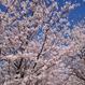 2018.04.08(日) 街まっち お花見ピクニック@明石市 明石公園 桜を見ながら婚活恋活しましょ。