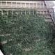 オーガニック桑の葉茶 Organic Mulberry Leaf Tea