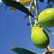 橄欖精華油 Olive squalane 25ml
