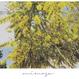 Botanical Collection          【Mimosa】