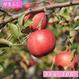 【送料無料】「早生ふじ」3kg(約10玉)【青森県産りんご:家庭用】