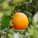 森果樹園の柑橘3種セット5kg(なると・はっさく・いよかん)