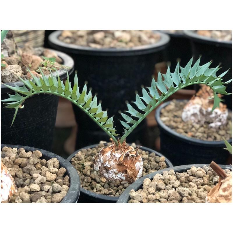 Encephalartos Horridus