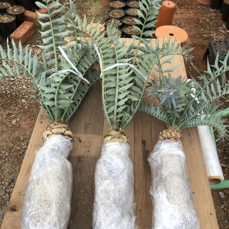【SOLD OUT】Encephalartos Horridus 3plants