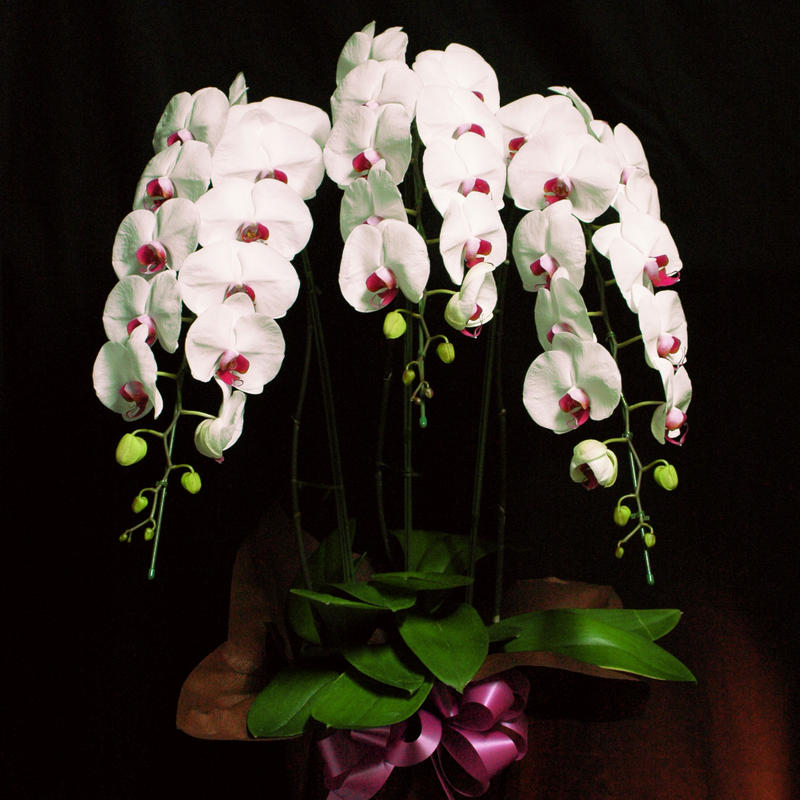 Orchid ー胡蝶蘭ー