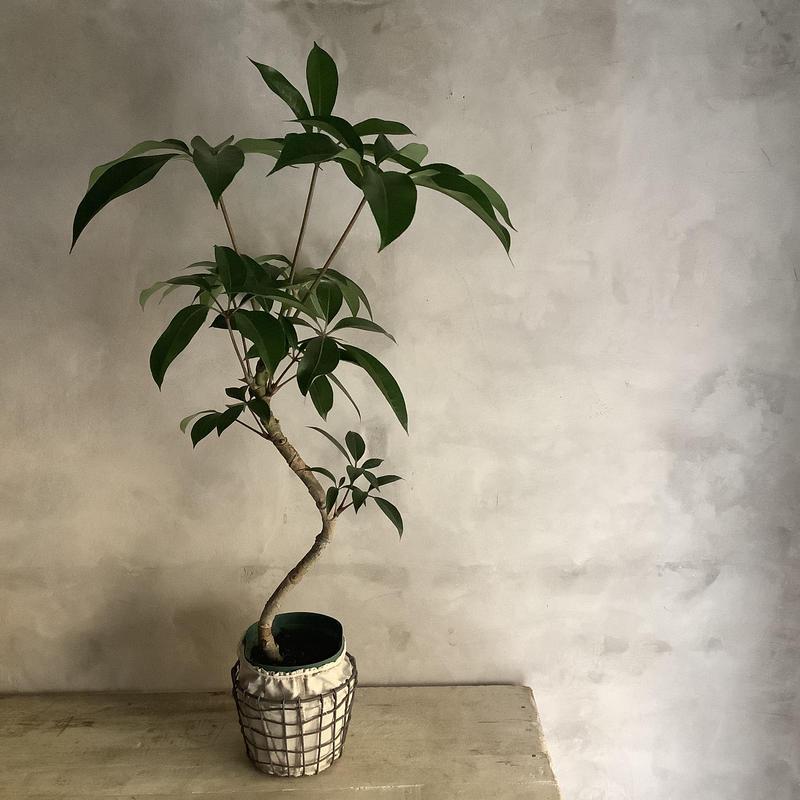 Schefflera pueckleri Tupidanthus (ワイアーバスケット付シェフレラ・ツピタンサス)