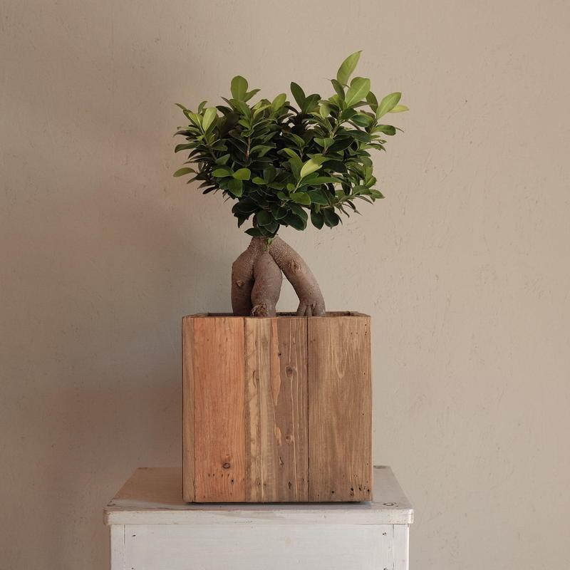 ガジュマル Ficus microcarpa