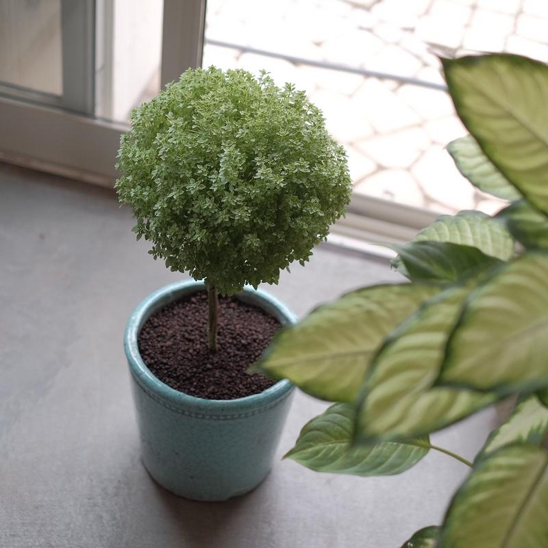 バジルツリー  Basil Tree