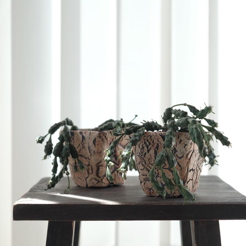 ユーフォルビア  グロボーサ Euphorbia globosa
