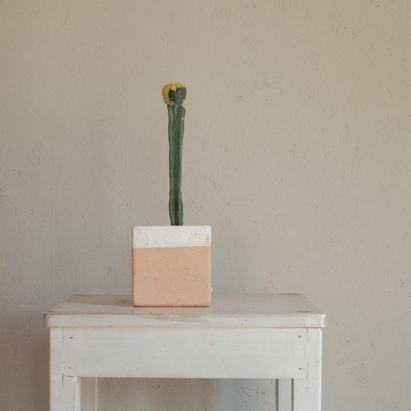 碧瑠璃兜錦  へきるりかぶとにしき Astrophytum asterias var.nudun f.variegata