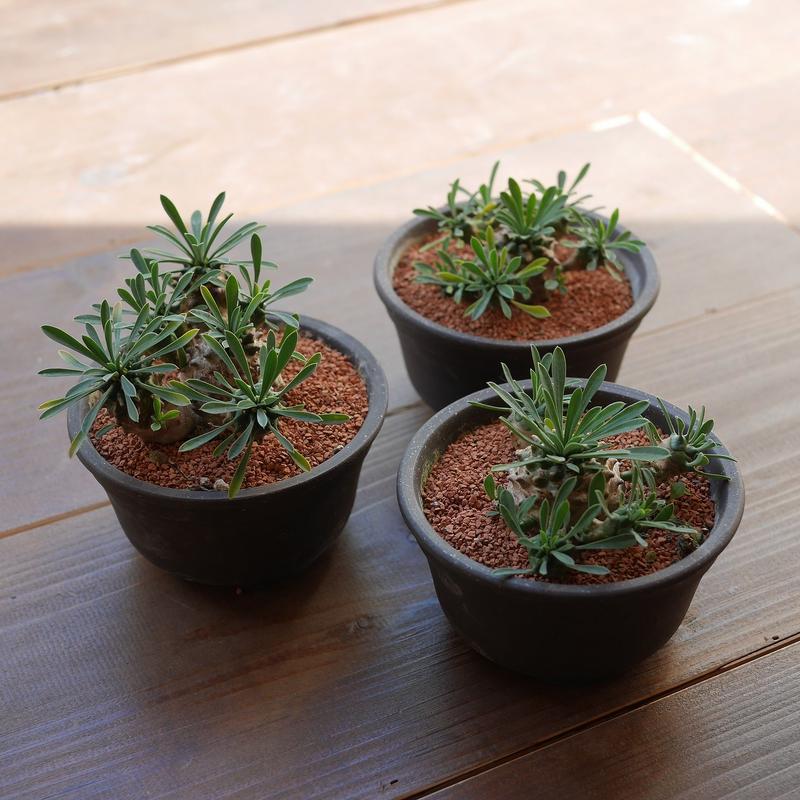 ユーフォルビア峨眉山 Euphorbia 'Gabizan