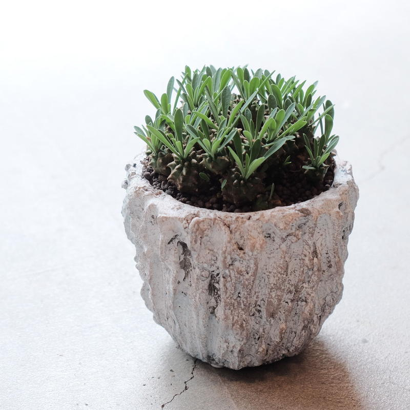ユーフォルビア 峨眉山 Euphorbia Japonica