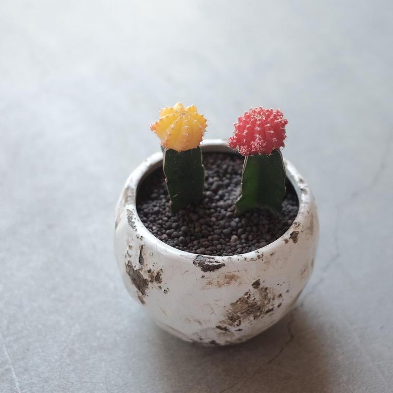 サボテン 緋牡丹