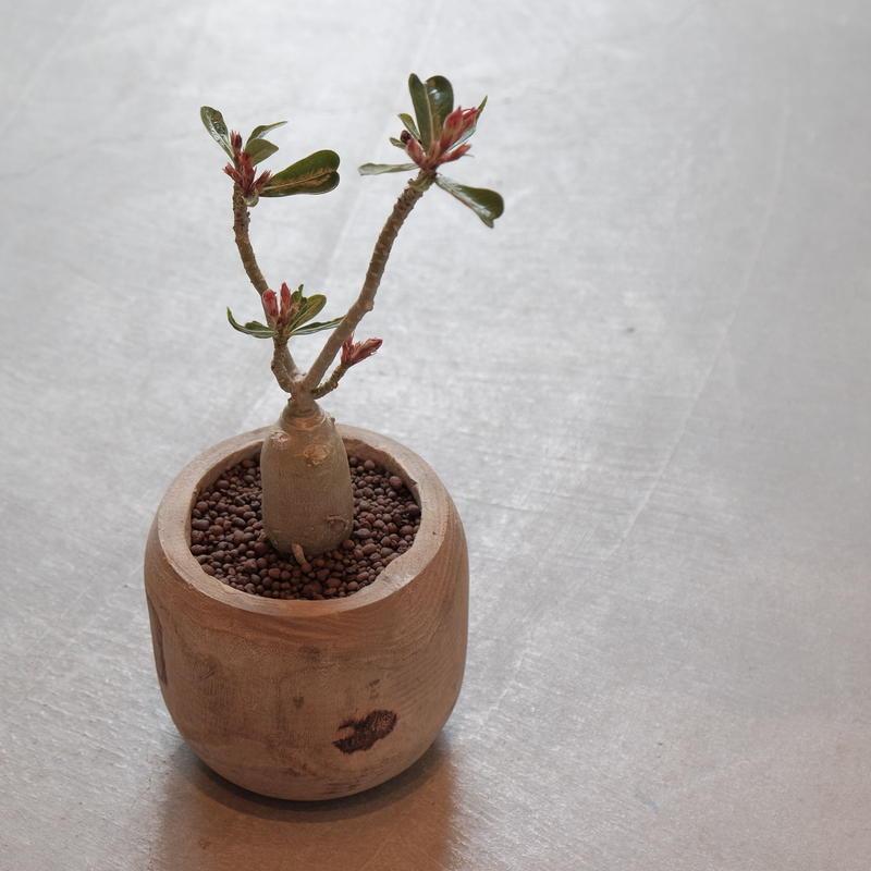 アデニウム 砂漠の薔薇