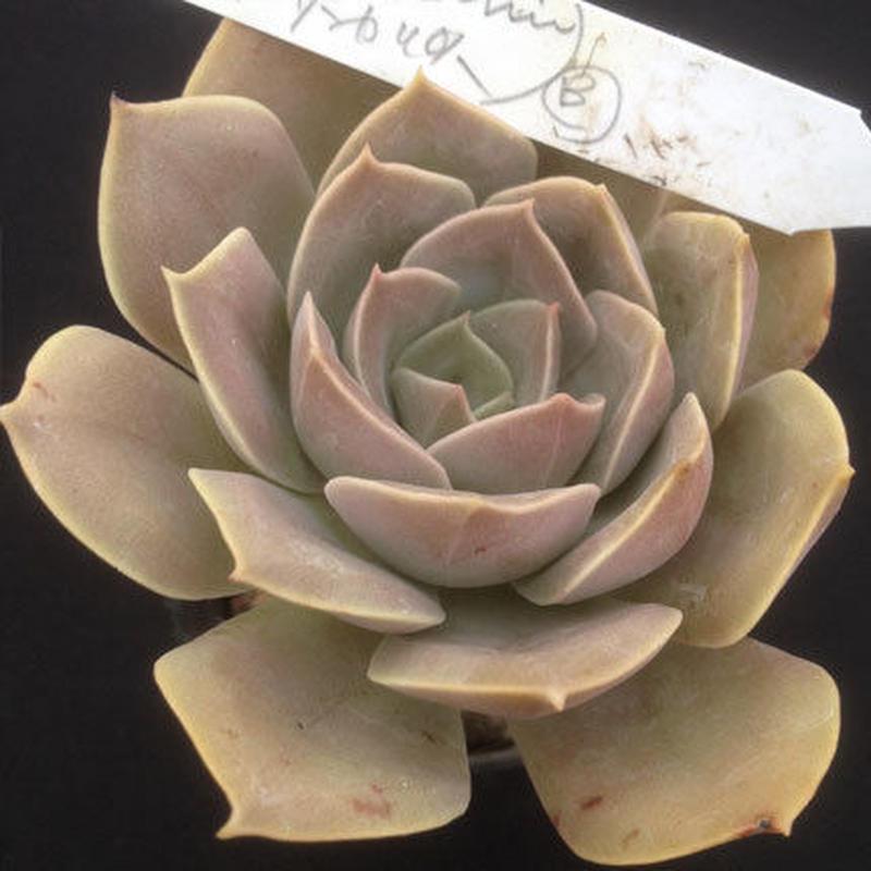 E.ラモラーニxサンカルロス  Echeveria moranii x San Calros  (044)