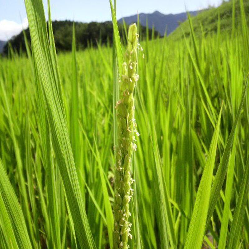 大分県産  イセヒカリ  玄米    5kg