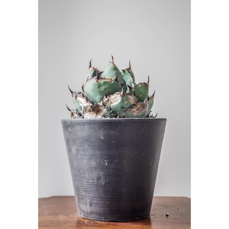 Agave titanota black and blue/アガベ チタノタ ブラックアンドブルー ①