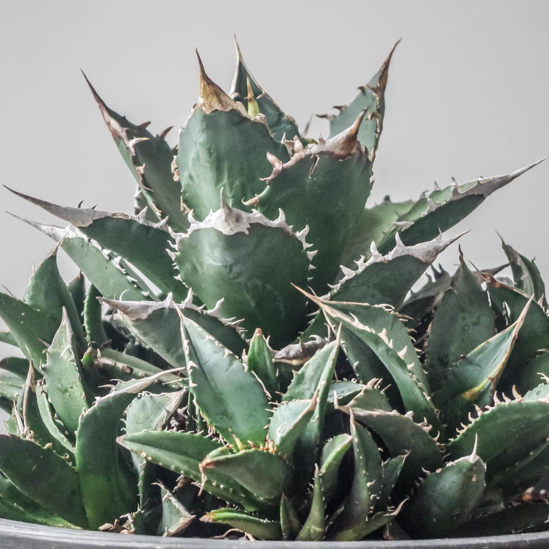 Agave titantoa FO-076 compacta/アガベ  チタノタ FO-076 コンパクタ