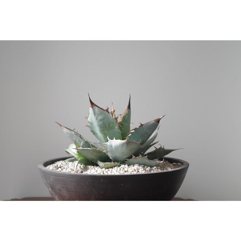 Agave titanota whiteice/アガベ チタノタ ホワイトアイス