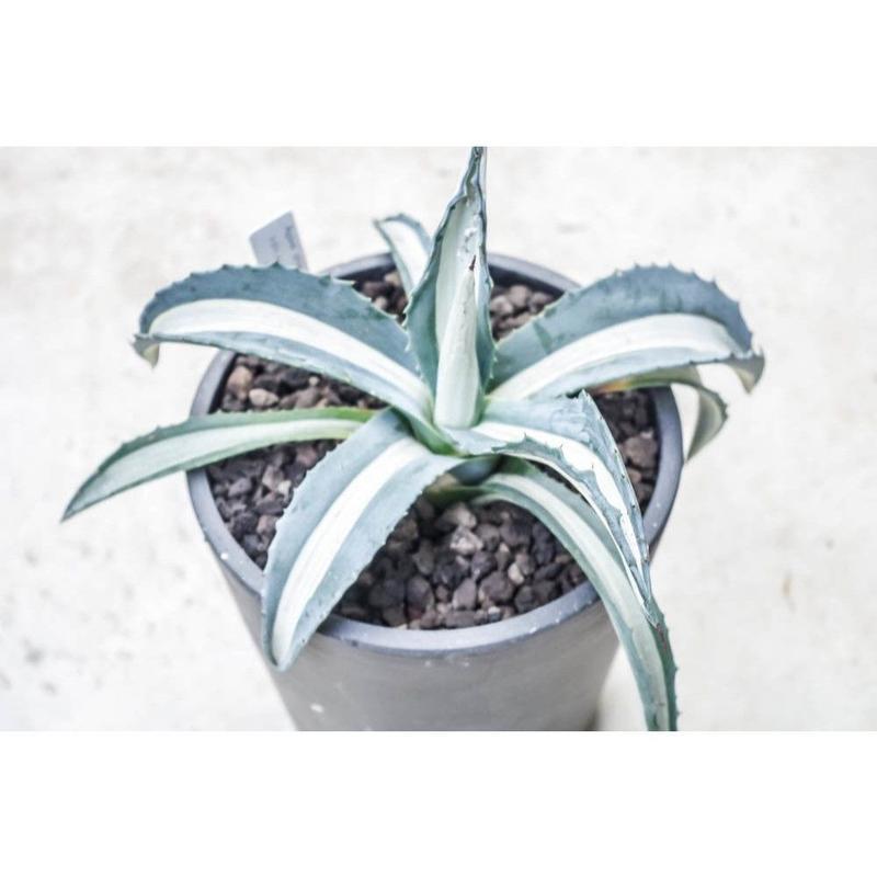 Agave americana mediopicta alba/アガベ 華厳