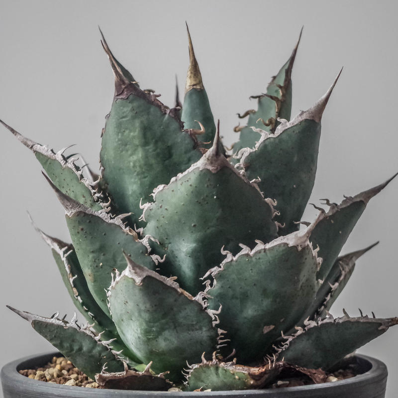 Agave titanota FO-076 compacta/アガベ  チタノタ FO-076 コンパクタ