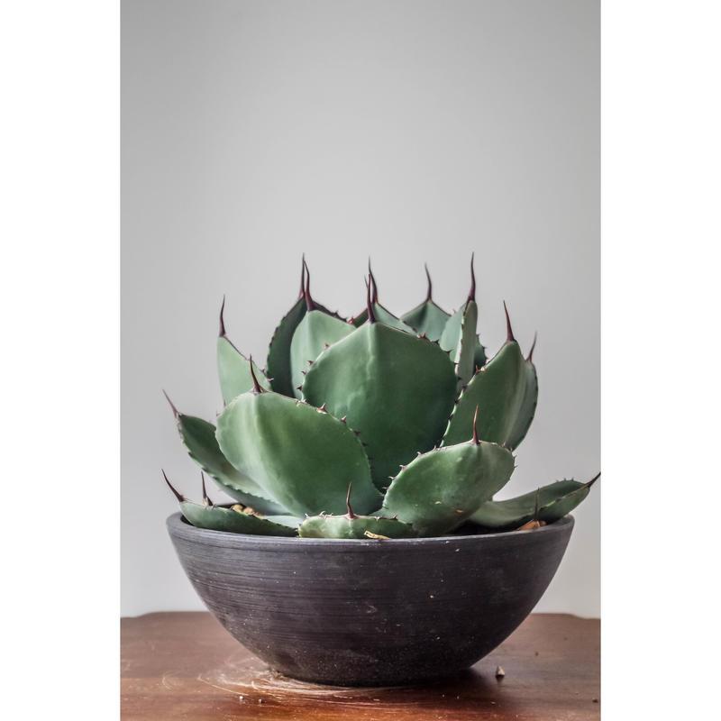 Agave parryi truncata huntington/アガベ パリー トランカータ ①