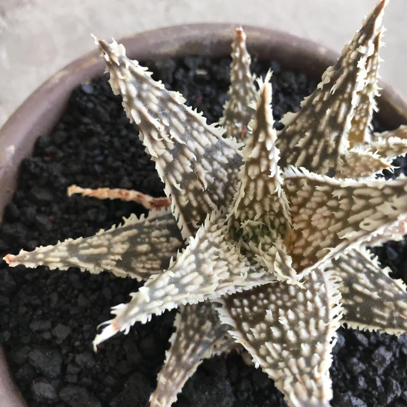 Aloe DWDevil no.1