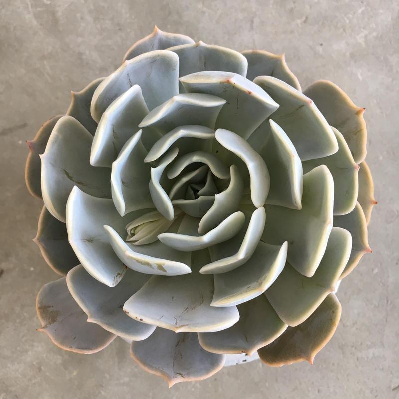Echeveria Poluxia