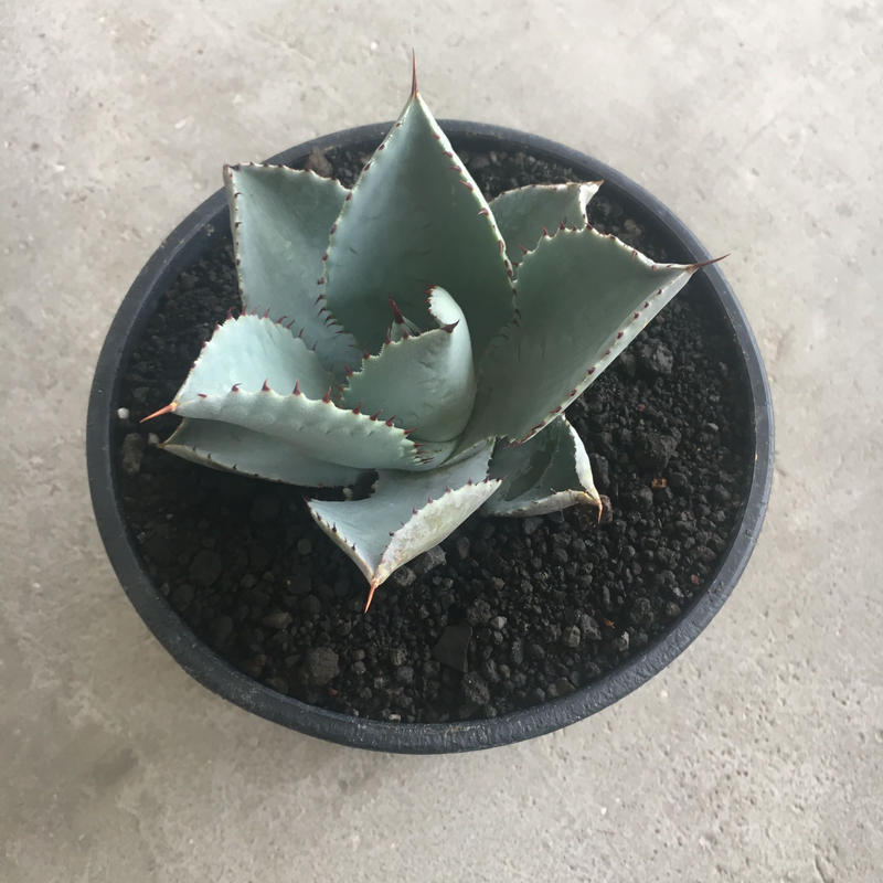 "Agave pygmaea ""Dragon Toes"" 1"