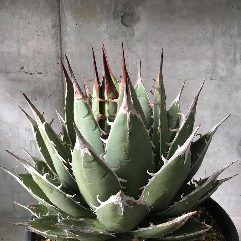 Agave ghiesbreghtii(purpusorum Type)