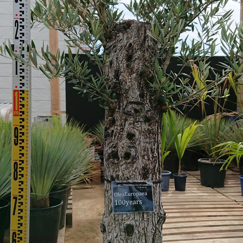 オリーブ古木 100years old olive tree