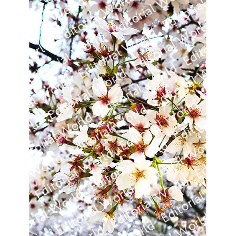 靭公園の桜