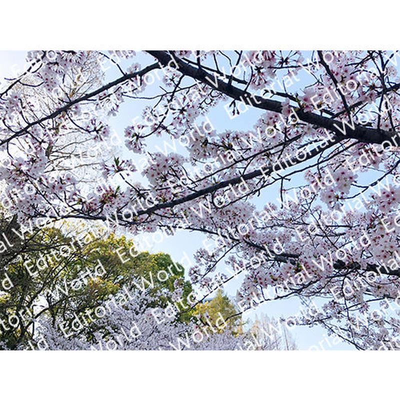靭公園の桜 4