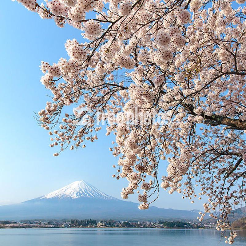 河口湖からの桜と富士山[富士河口湖町]