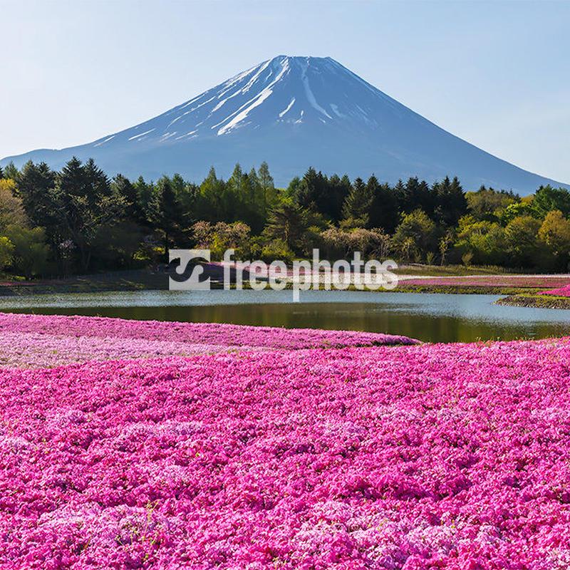 富士本栖湖リゾートからの芝桜と富士山[富士河口湖町]