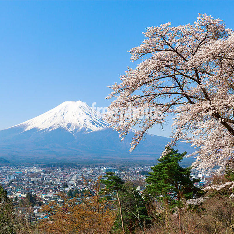 富士吉田市からの桜と富士山[富士吉田市]