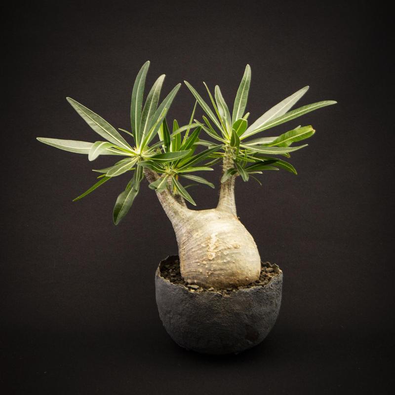 パキポディウム グラキリス.3  Pachypodium rosulatum var.gracilius