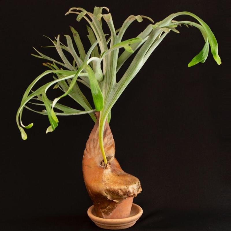 コウモリラン・アルキコルネ マダガスカル platycerium alcicorne var.Madagascar