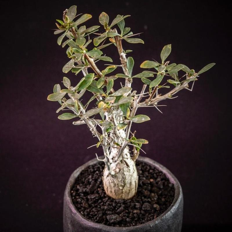 フォークイエリア コルムナリス Fouquieria columnaris