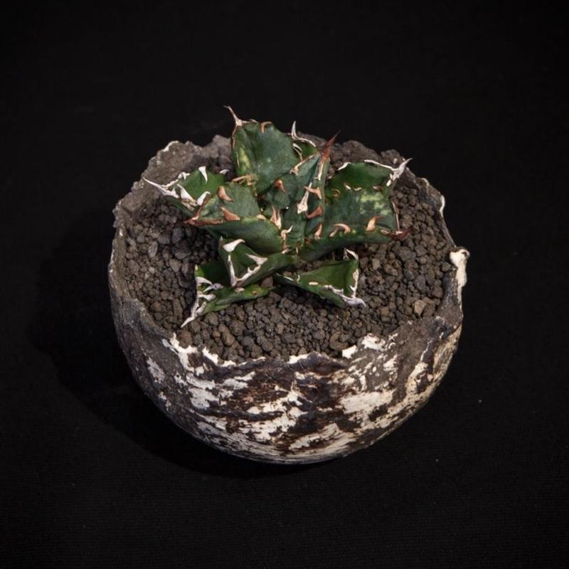 アガベ チタノタ.2 Agave parryi var. truncata