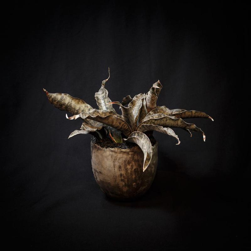 サンスベリア・キルキー プルクラ コッパトーン Sansevieria Kirkii var. pulchra coppertone