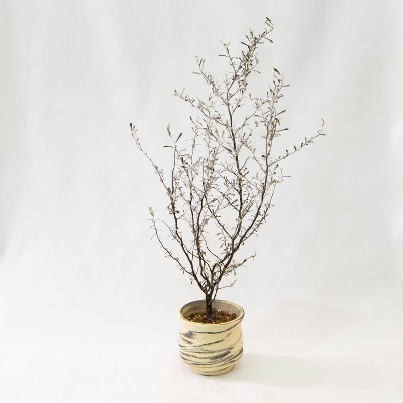 コロキア・コトネアスター Corokia cotoneaster
