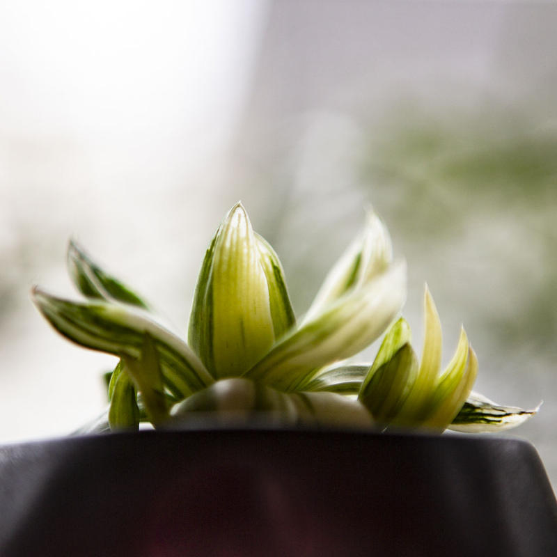 ハオルチア 京の華錦 Haworthia cymbiformis var. angustata