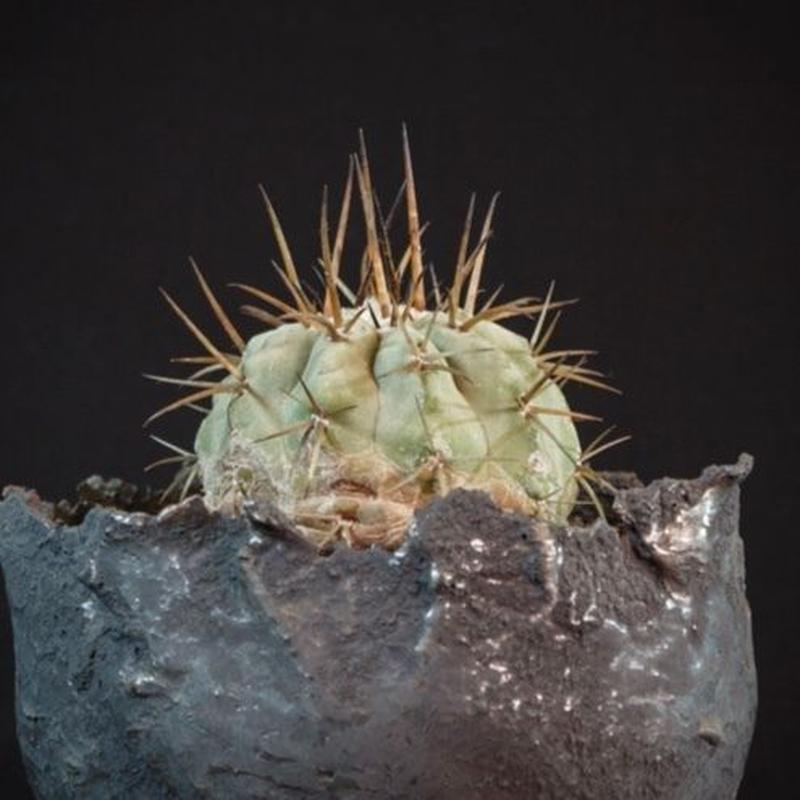 コピアポア シネレア 黒王丸.3 Copiapoa cinerea