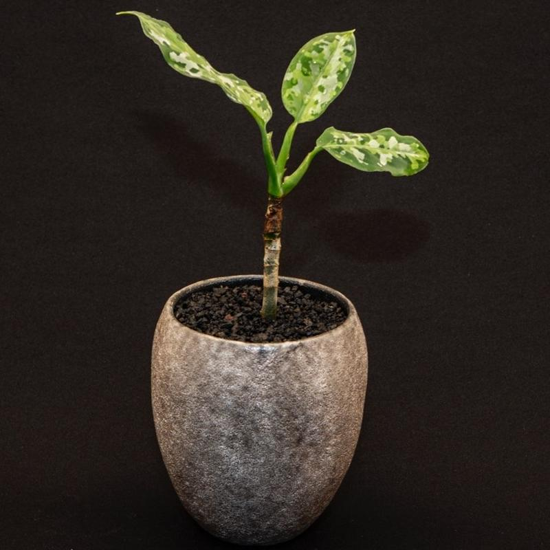 アグラオネマ ピクタム トリカラー.3  Aglaonema pictum tricolor