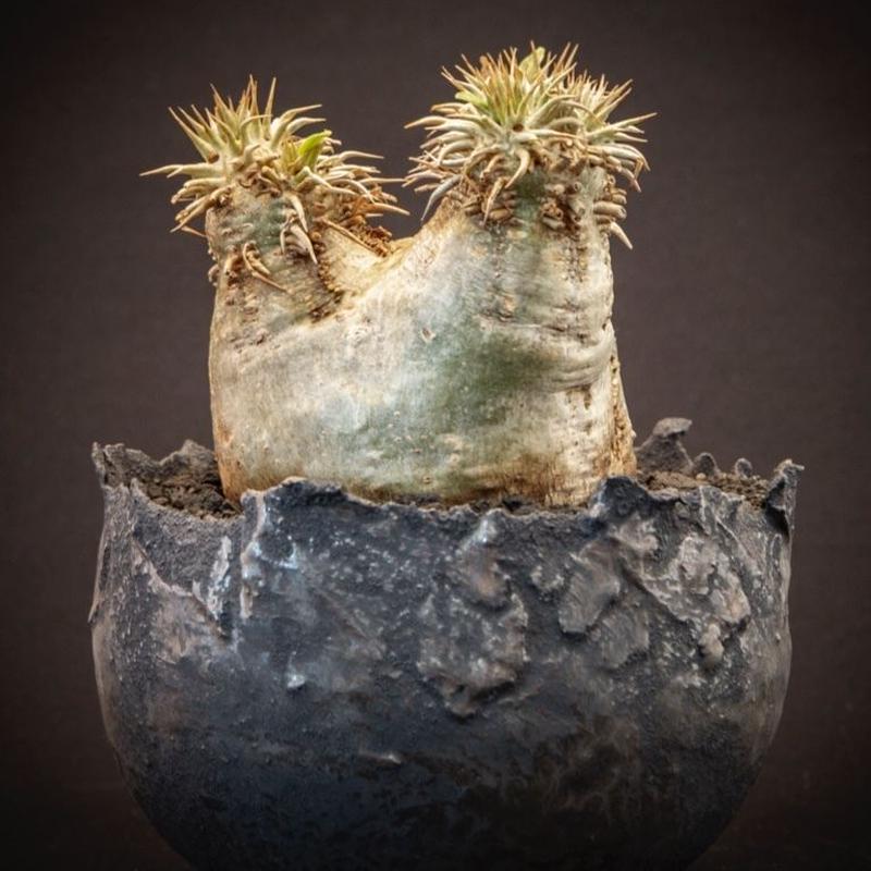パキポディウム エブレネウム Pachypodium rosulatum var. eburneum