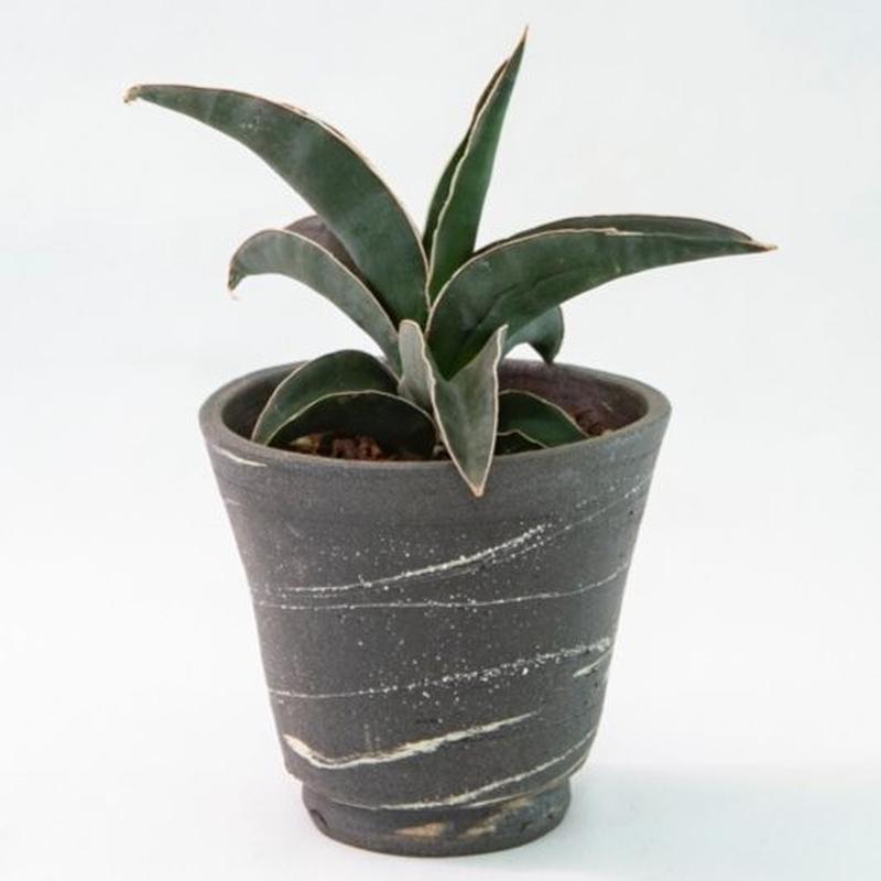サンズベリア ロブスタ ブルー Sansevieria robusta blue