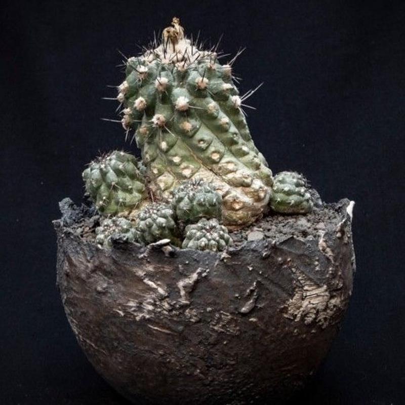 コピアポア シネレア 白刺黒王丸 Copiapoa cinerea var.albispina