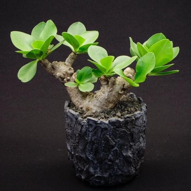 ユーフォルビア イトレメンシス Euphorbia itremensis