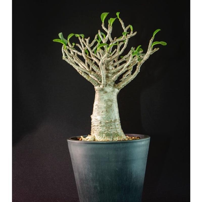 """アデニウム タイソコトラナム""""バオバブフォーム"""" Adenium Thai socotranum"""